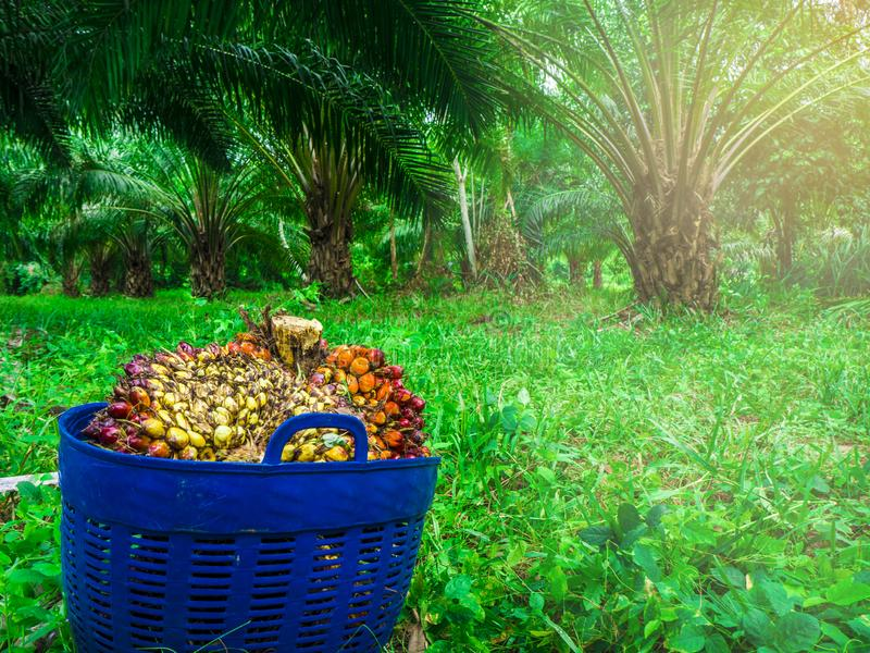 Palm oil, agricultural produce in a basket. Palm oil is an alternative energy. That can be used for many things Both used as ingredients in food And used to make royalty free stock photo