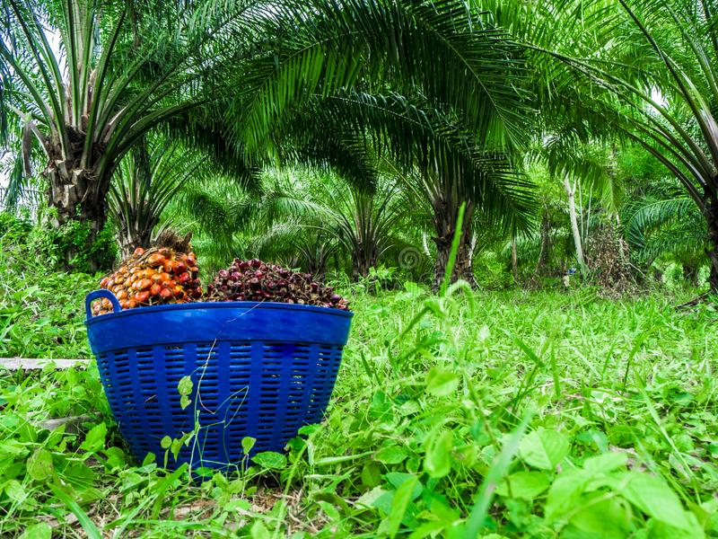 Palm oil, agricultural produce in a basket. Palm oil is an alternative energy. That can be used for many things Both used as ingredients in food And used to make royalty free stock image