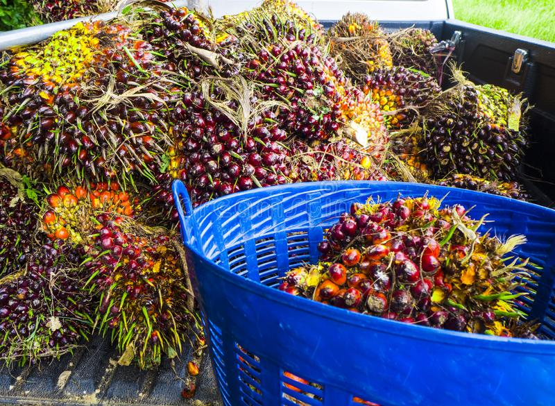 Palm oil, agricultural produce in a basket. Palm oil is an alternative energy. That can be used for many things Both used as ingredients in food And used to make stock image