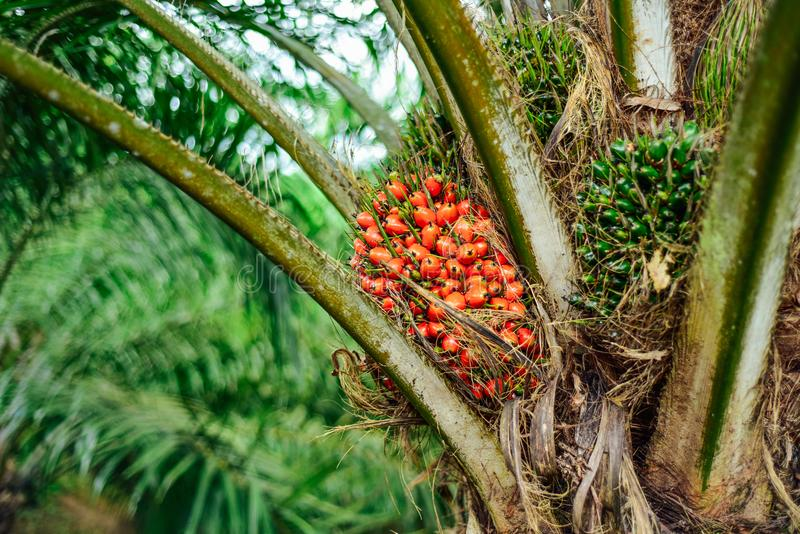 Ripe fruits of oil palm tree, fully matured, ripened. Palm oil is an edible vegetable oil derived from the mesocarp of the fruit of the oil palms, primarily the stock images