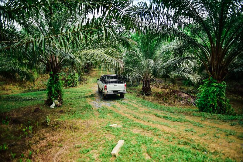 Inspecting oil palm plantation site using truck. Palm oil is an edible vegetable oil derived from the mesocarp of the fruit of the oil palms, primarily the stock image