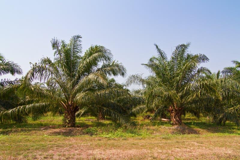 Palm oil farm stock photo