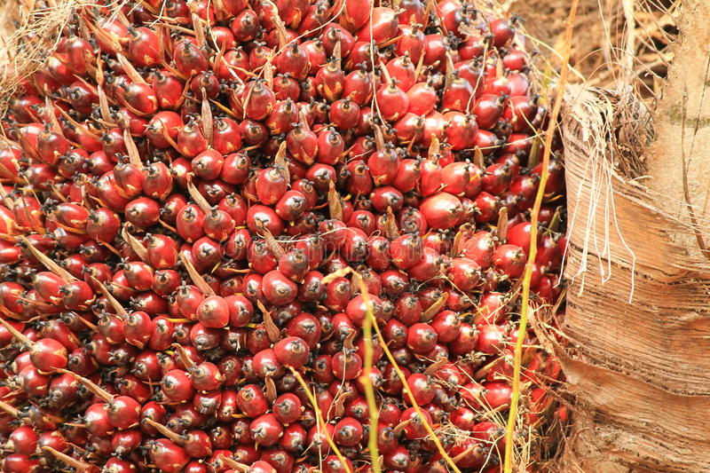 Palm oil fruit stock images