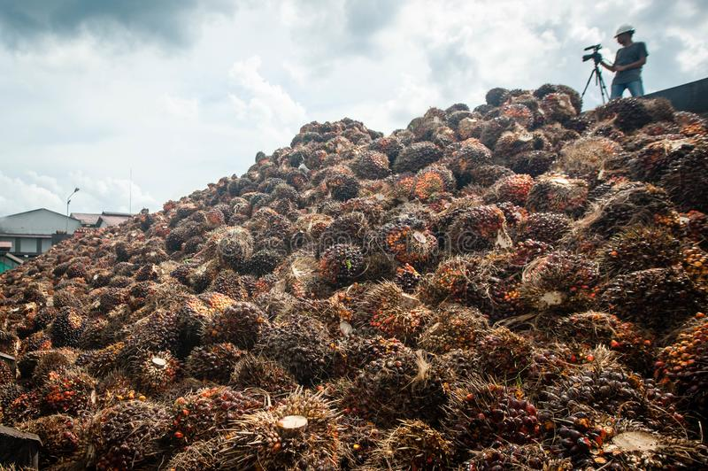 Palm oil fruits stock photo