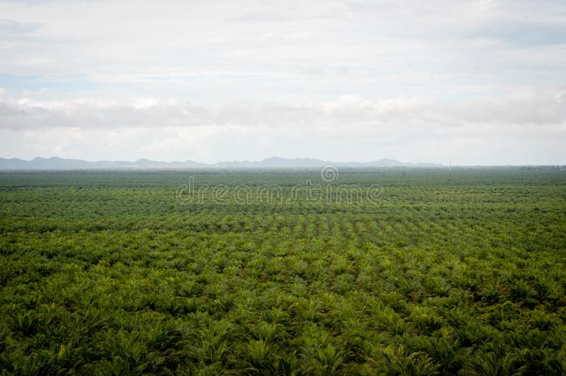 Palm oil plantation royalty free stock images