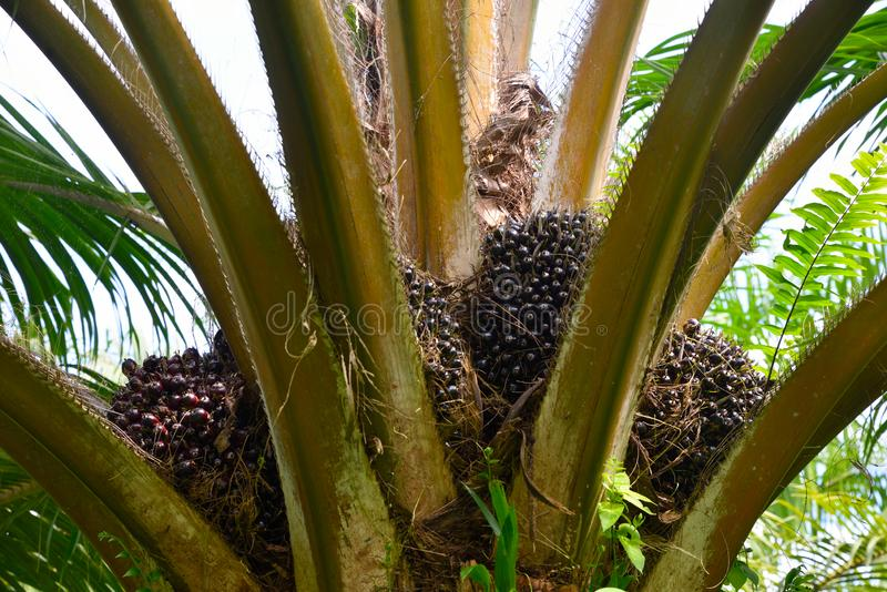 Palm oil fruits on tree in garden royalty free stock images
