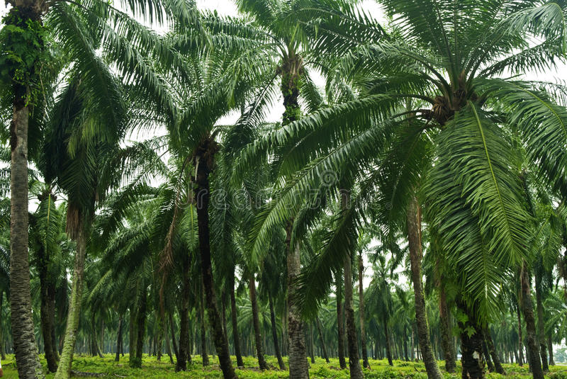 Download Palm Oil Plantation stock photo. Image of growth, estate - 10927470