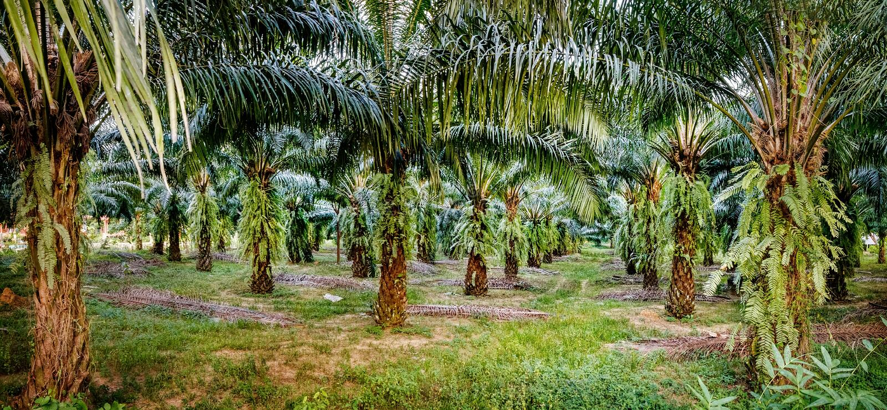 Palm oil plantations, Khao Sok National Park, Thailand. royalty free stock photography