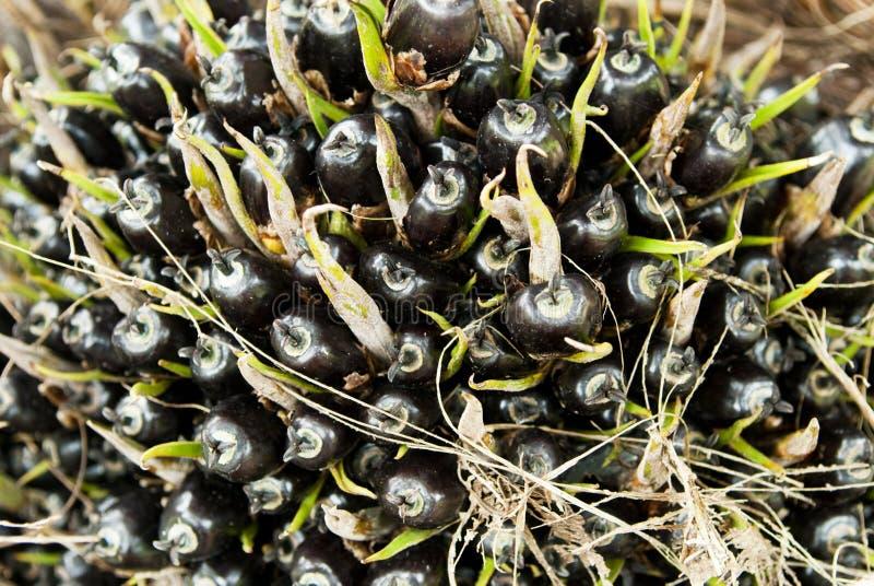 Palm Oil Seeds