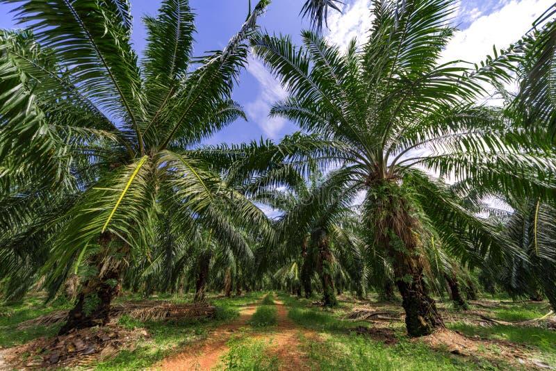 Palm oil tree plantation royalty free stock photos