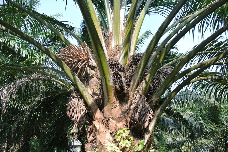 Palm oil trees in palm oil plantation estate stock photography