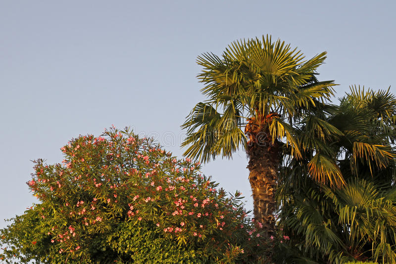 Download Palm And Oleander Tree In Lazise At Lake Garda, Veneto, Italy Stock Photo - Image: 35357316