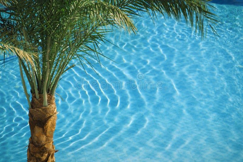 Palm op blauwe pool stock afbeelding