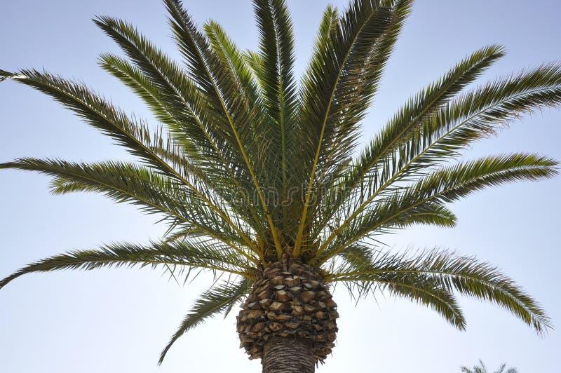 Palm op de hemelachtergrond royalty-vrije stock afbeelding