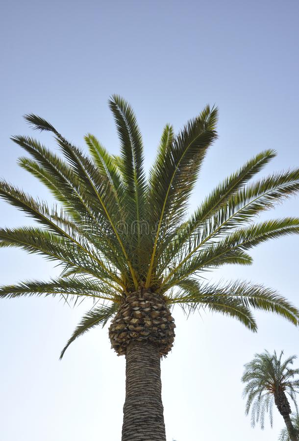 Palm op de hemelachtergrond royalty-vrije stock fotografie