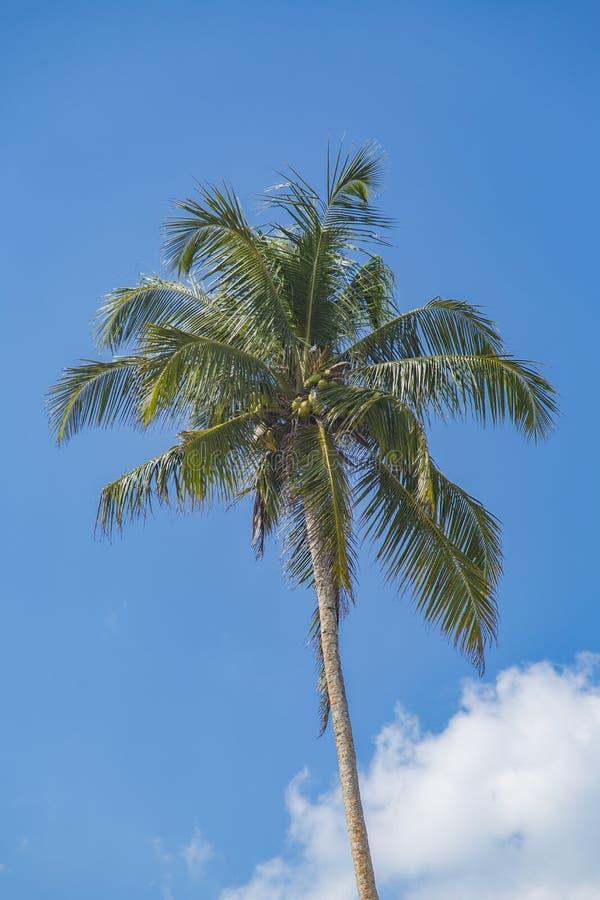Palm op Mirissa-strand in Sri Lanka stock foto's