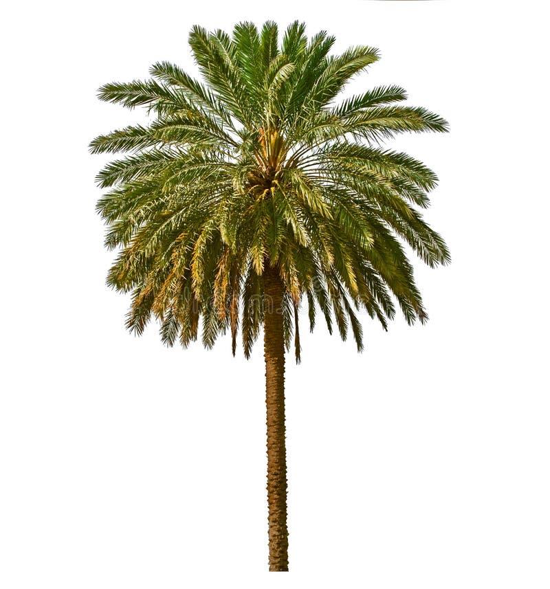 Palm op witte achtergrond wordt geïsoleerdE die royalty-vrije stock afbeelding
