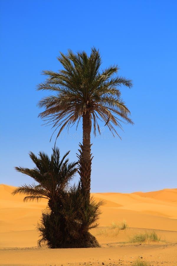 Palm op woestijn stock fotografie