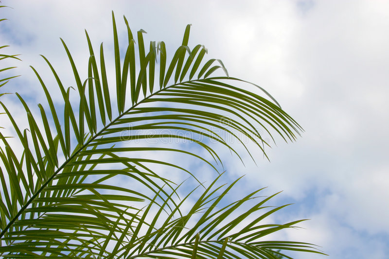 Palm Palm fronds. Palm fronds with cloudy blue sky in background stock photography