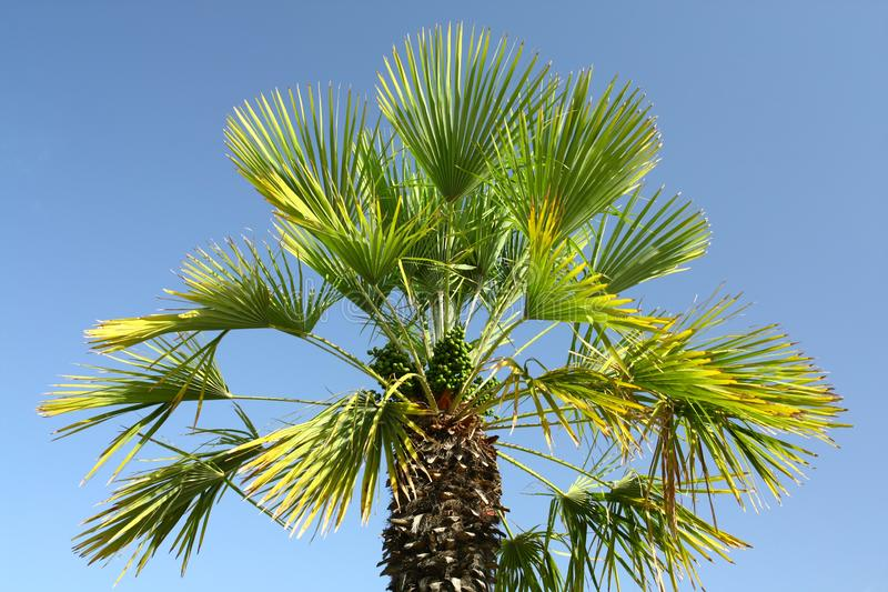 Palm. Tree on the Spanish island of Majorca stock image