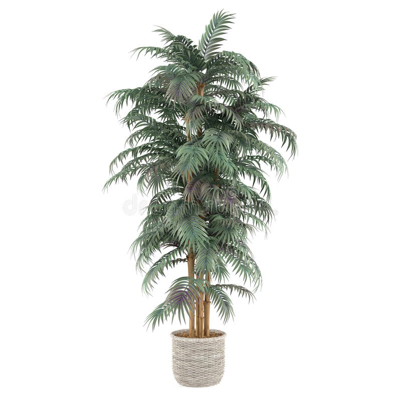 Palm plant bamboo tree in the pot vector illustration