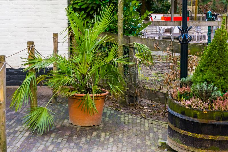 Palm plant in a flowerpot, popular garden plants and decorations. A palm plant in a flowerpot, popular garden plants and decorations royalty free stock image
