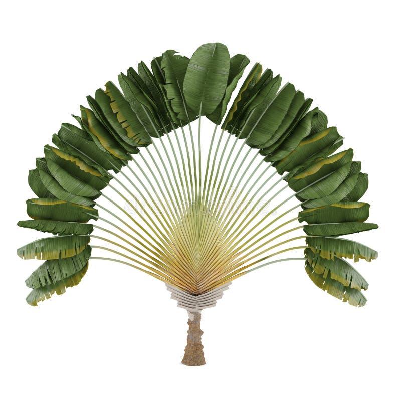 Free Palm Plant. Ravenala Madagascariensis Royalty Free Stock Photos - 35609178