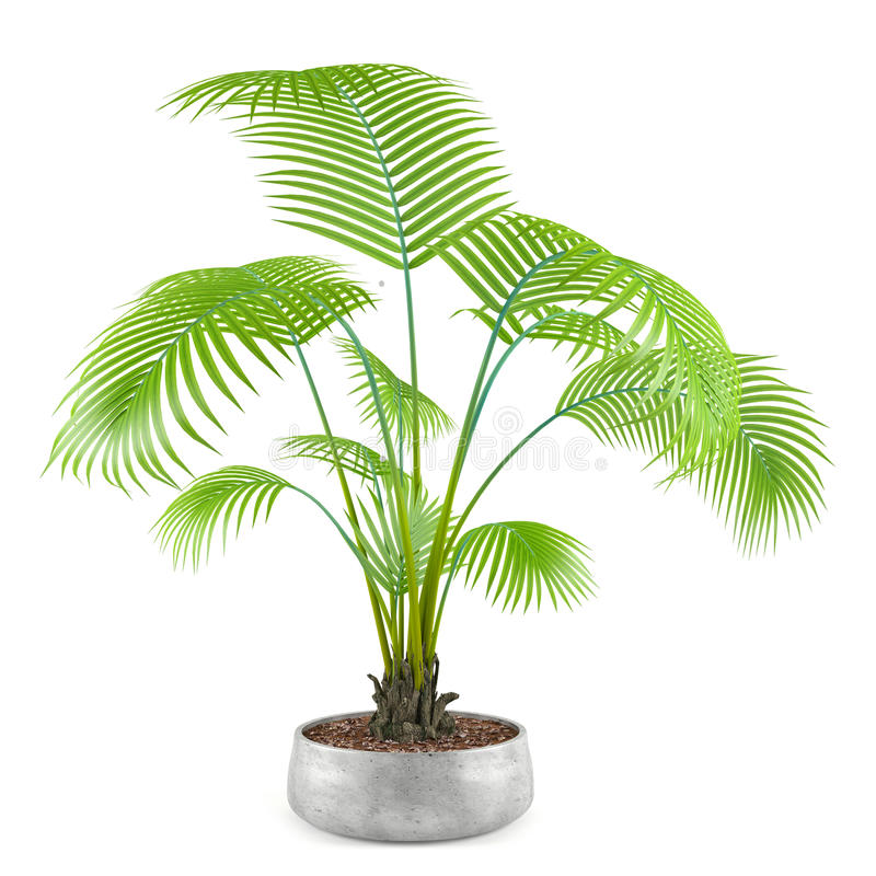 Palm plant tree in the pot vector illustration