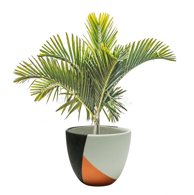 Palm in pot stock foto's