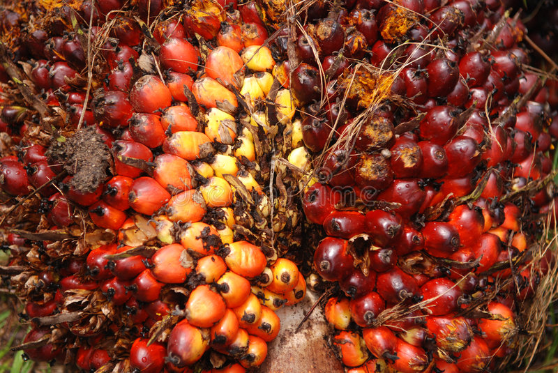 Download Palm seeds in the farm stock photo. Image of plants, commodity - 2874292