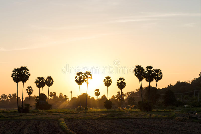 Palm silhouettes evening. Spectacular views of silhouettes evening sun shimmering through the palm towards the ground agriculture stock photography