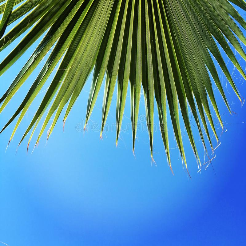 Palm, sky, blue sky. Palm leaves against a bright blue sky stock photography