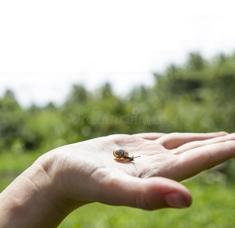 On the palm a small snail is crawling with beautiful horns and an orange shell house against a green forest and sky on a sunny day royalty free stock image