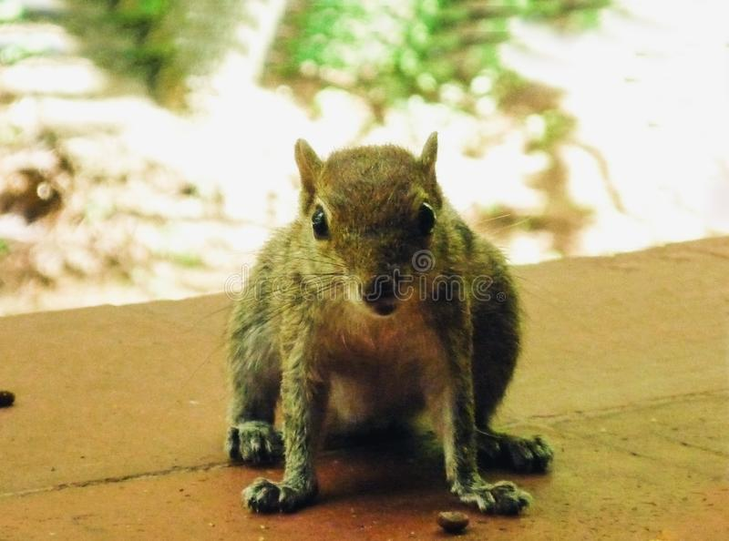 Palm squirrel eating a nut on the ground in the island of Sri Lanka.  royalty free stock photo