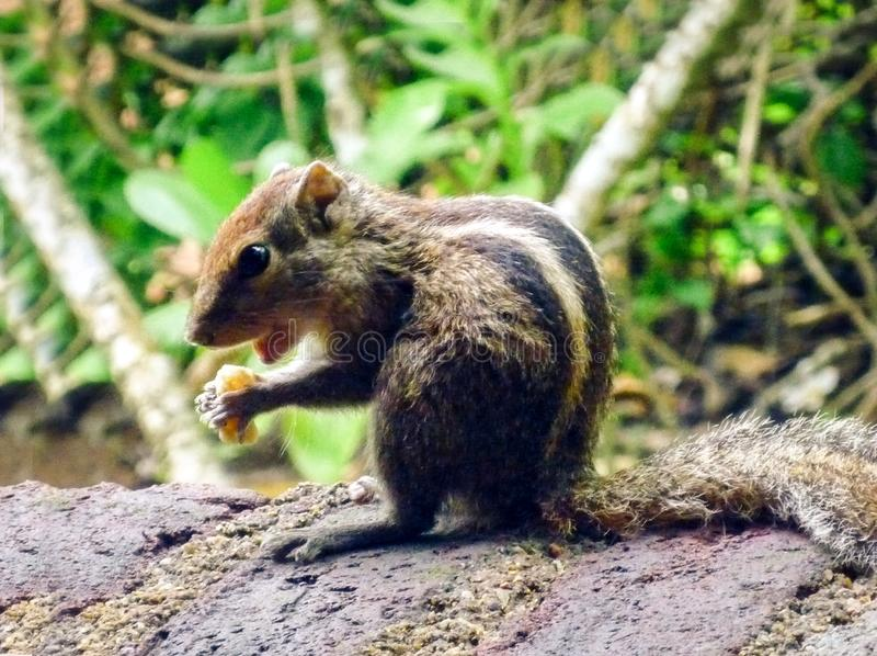Palm squirrel eating a nut on the ground in the island of Sri Lanka.  royalty free stock image
