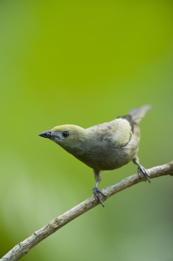Download Palm tanager stock photo. Image of outdoors, central - 26242418