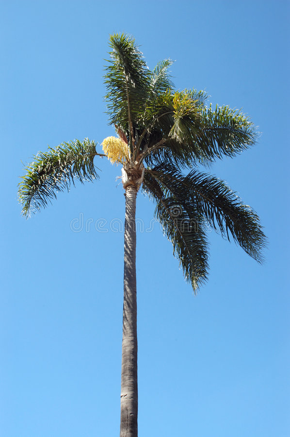 Palm Tree. Against clear blue sky stock images