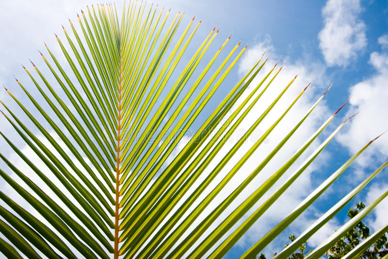 Download Palm Tree stock image. Image of botany, macro, bush, frond - 12777517