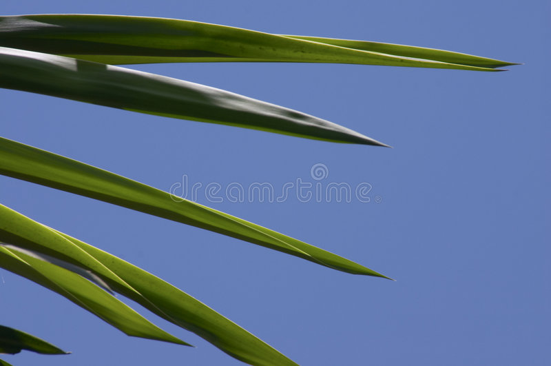 Palm tree. Close up of Palm tree frond against blue sky stock images