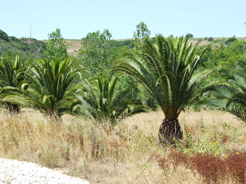 Download Palm tree stock image. Image of garden, cucos, palm, thermal - 1423023