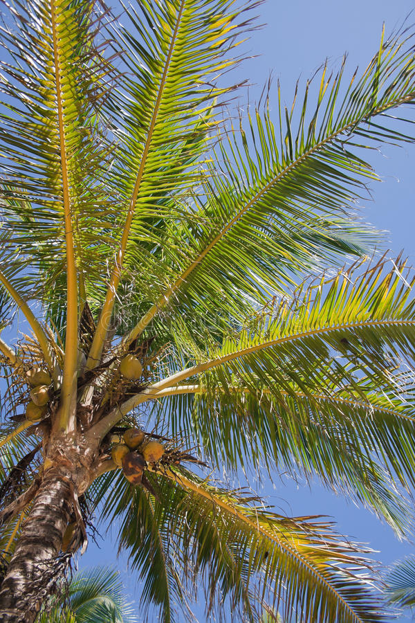 Download Palm tree stock photo. Image of subtropical, evergreen - 14363328