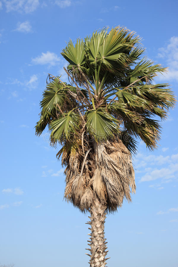 Palm Tree Stock Image