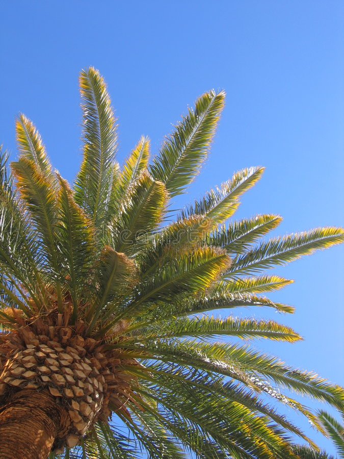 Download Palm Tree stock photo. Image of tropical, isolated, leaves - 172702