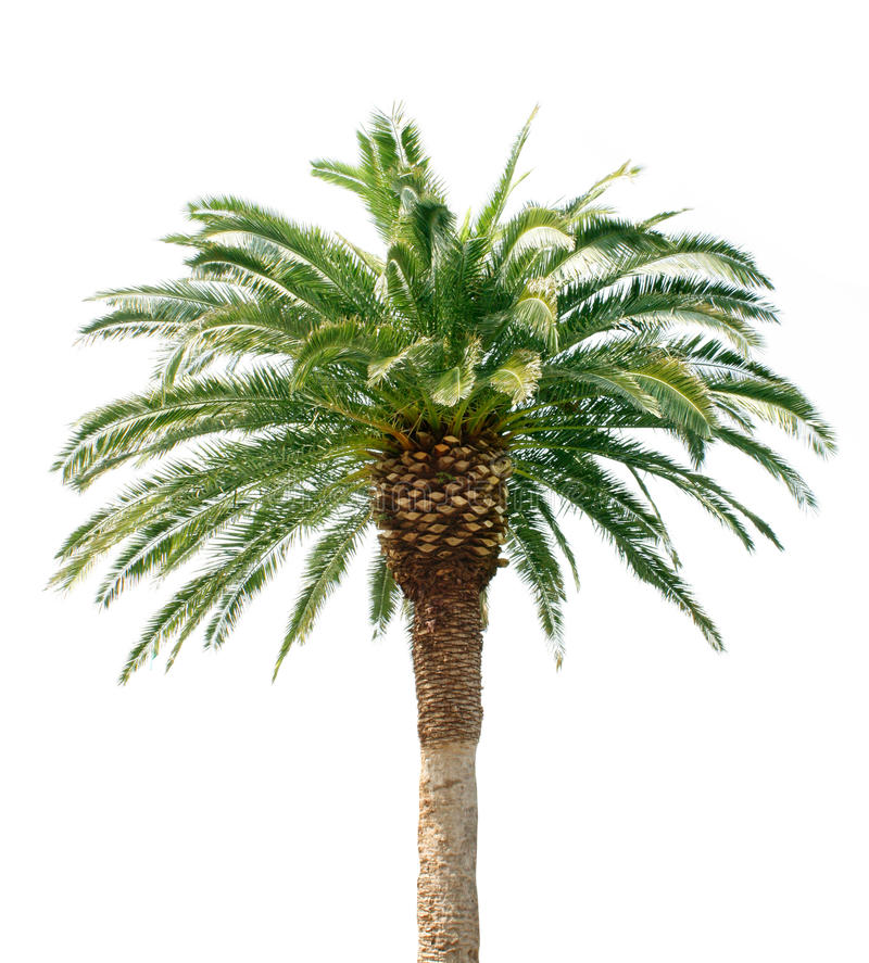 Download Palm tree stock photo. Image of natural, tree, fronds - 19350748