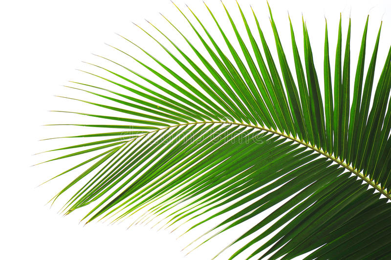 Palm tree. Leaf palm tree on white background royalty free stock photo
