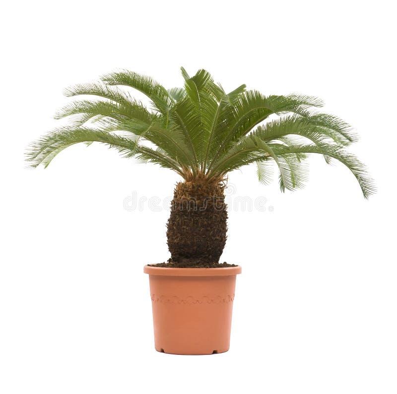 Palm tree. Isolated on white background stock photos