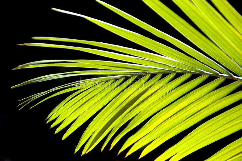 Download Palm Tree stock photo. Image of stem, coconut, isolated - 3220588