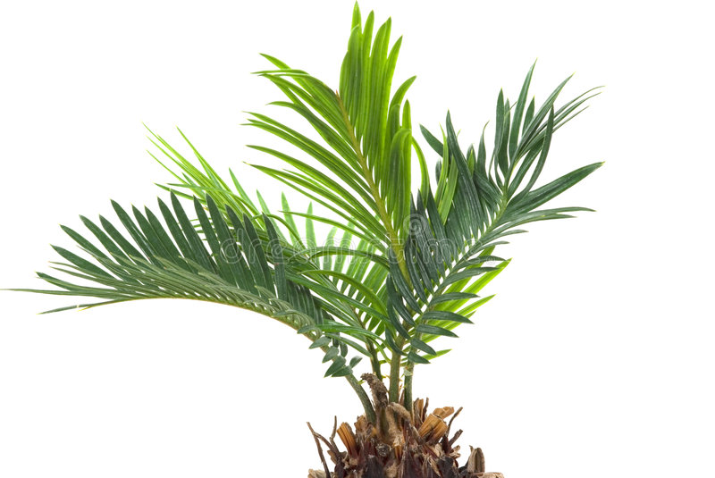 Download Palm Tree stock photo. Image of branch, tropical, palm - 4410740