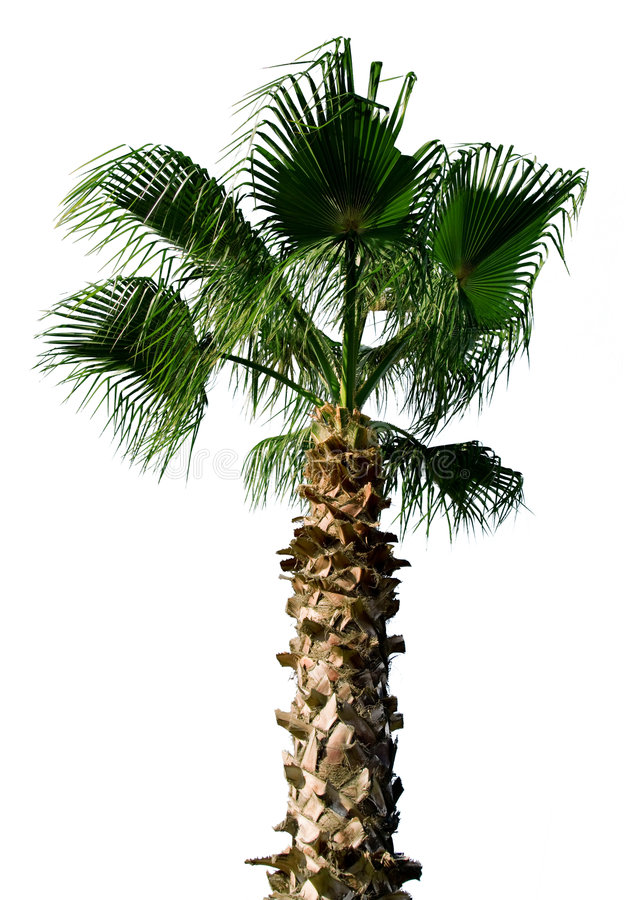Download Palm tree stock photo. Image of sunny, frond, white, tree - 5960640
