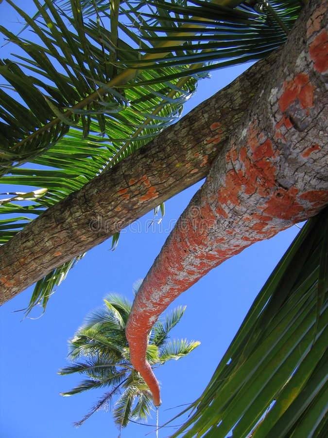 Palm tree. Tall palm tree in Fiji royalty free stock photo
